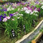 せんべろおでかけプラン「下町大衆酒場と6月の堀切菖蒲園を楽しむ」